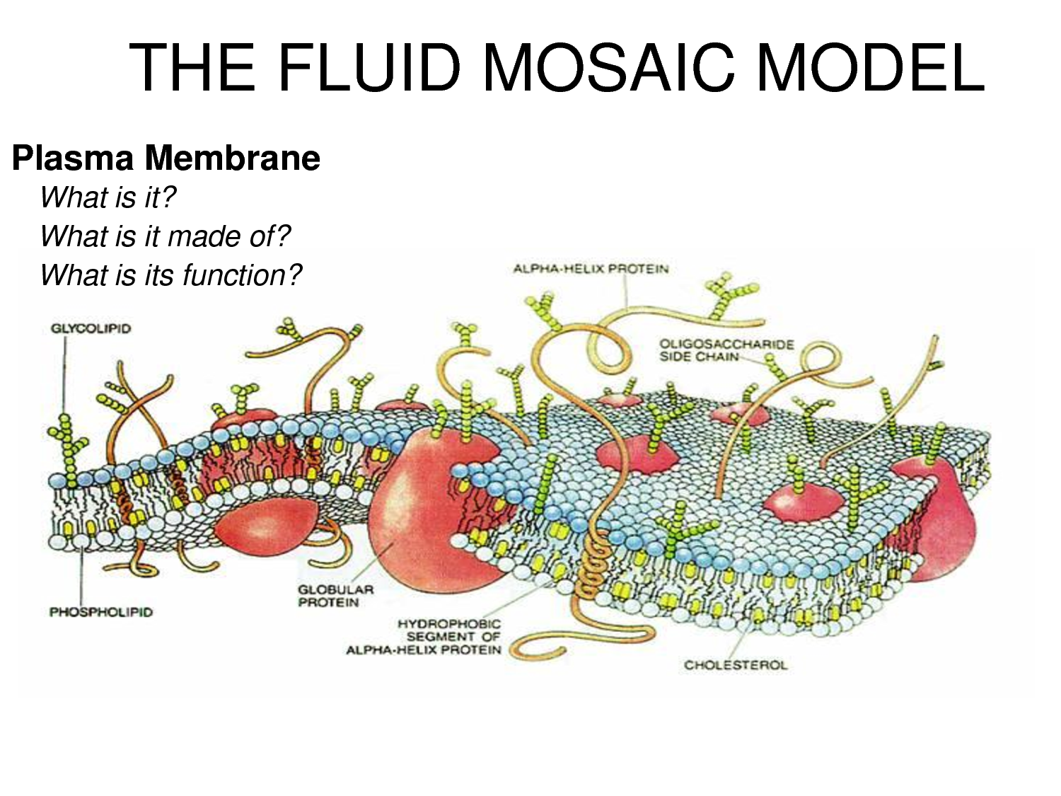 describe the fluid mosaic model of a In 1972 the fluid-mosaic membrane model of membrane structure was  this  basic model of the cell membrane remains relevant for describing.