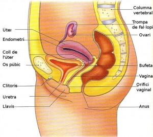 aparell reproductor femeni