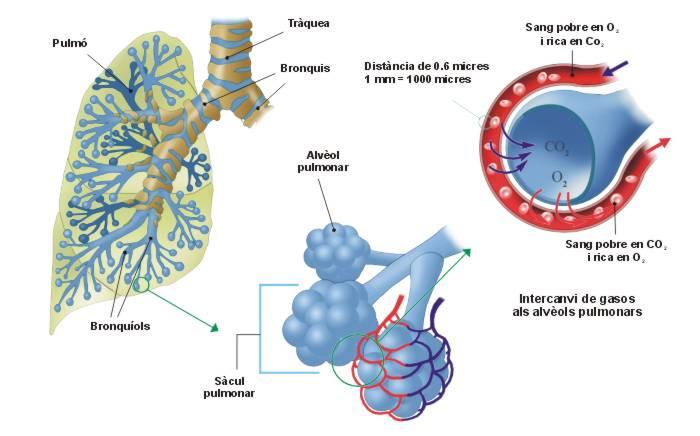 alveolos3catala